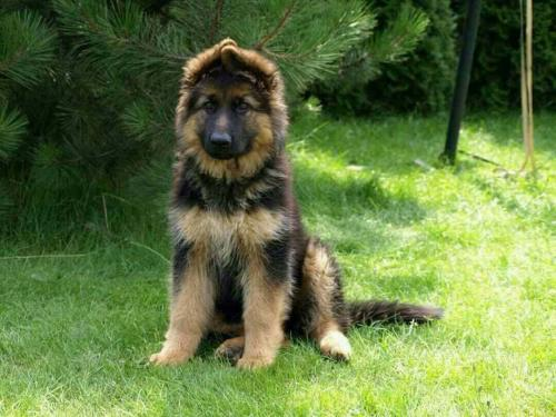 Long hair German Shephard