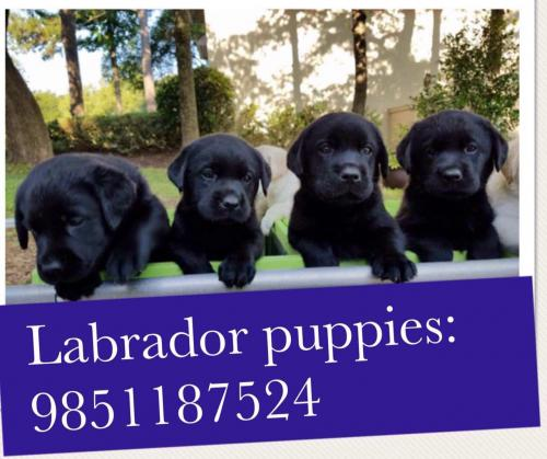 Best quality Labrador Puppies on sale