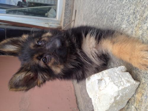 Double coated German shepherd puppy on sale.
