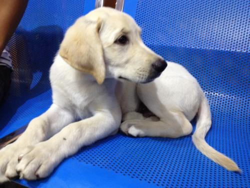 Male Labrador puppy on sale