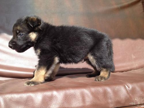German shepherd puppies on sale.