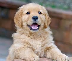 Golden retriver puppy on sale