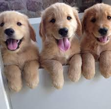 golden retriever puppy on sale