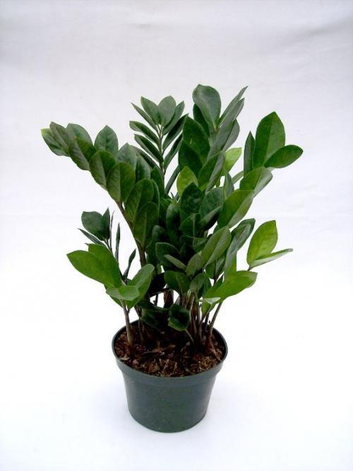 Indoor Plant- Zz Plant