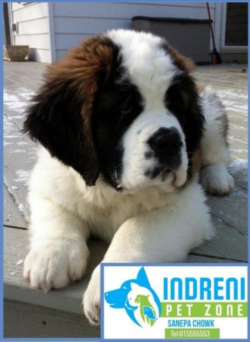St. Bernand puppies on sale