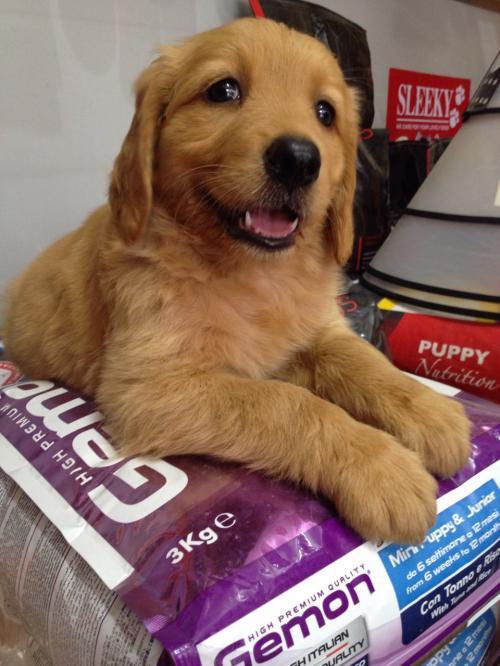 Golden retriever Male puppies on sale