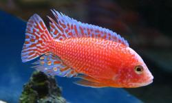 Dragon Blood Cichlid