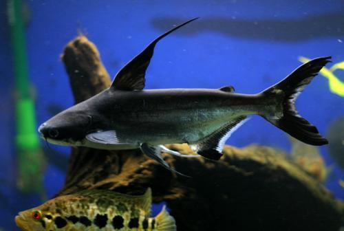 Paroon Shark