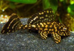 Leopard Pleco