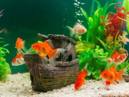 Red White Goldfish