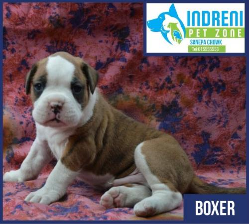 Well breed Boxer puppies