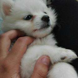 Pure Japanese Spitz puppy female
