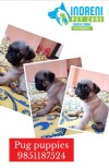 Pug puppies on sale