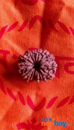 Rudrakshya