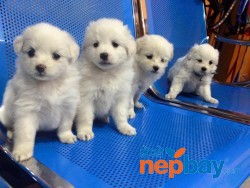 Japanese spitz puppies on sale