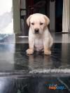 labredor puppy