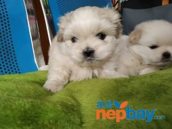 Apso puppies waiting for new Home
