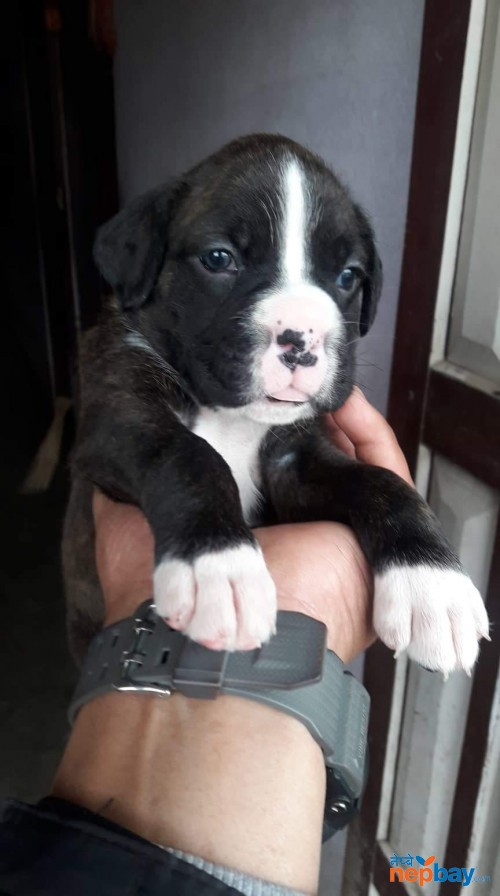 Boxer Puppies on sale