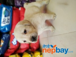 Labrador Puppies on sale.