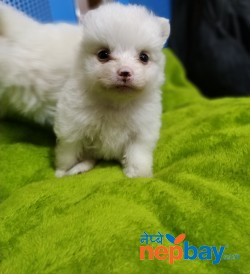 Japanese Spitz Puppy on sale.