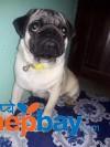 pug puppy 6 month old