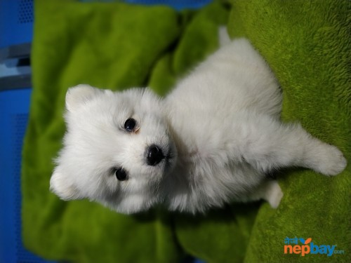 Japanese Spitz puppies waiting for new Home