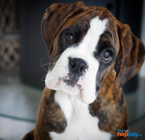 Boxer Puppies In Nepal