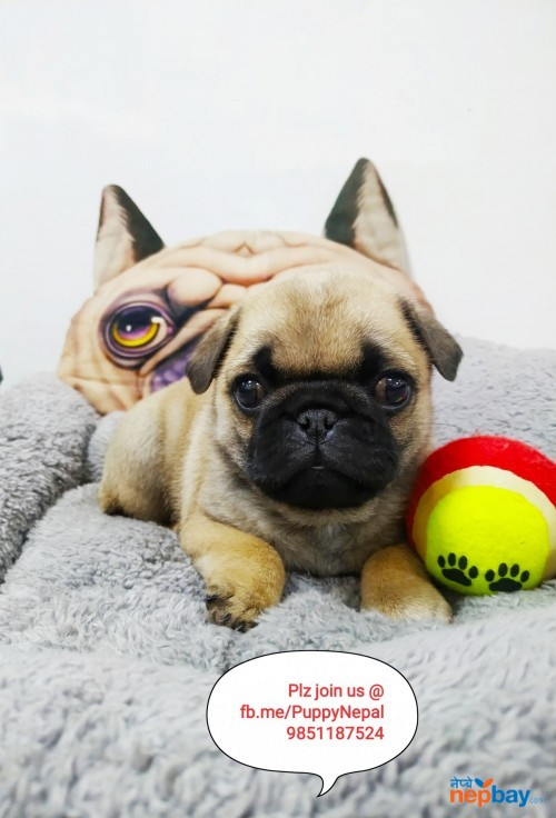 Pug Puppy in nepal