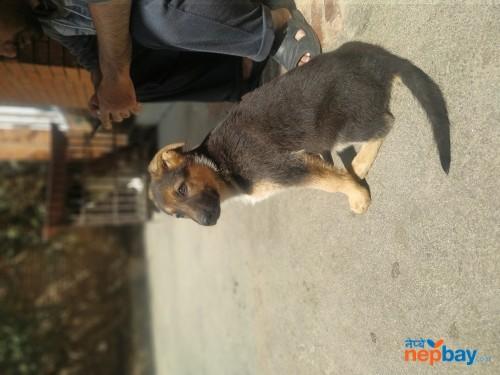 German Shepherd Dog in nepal