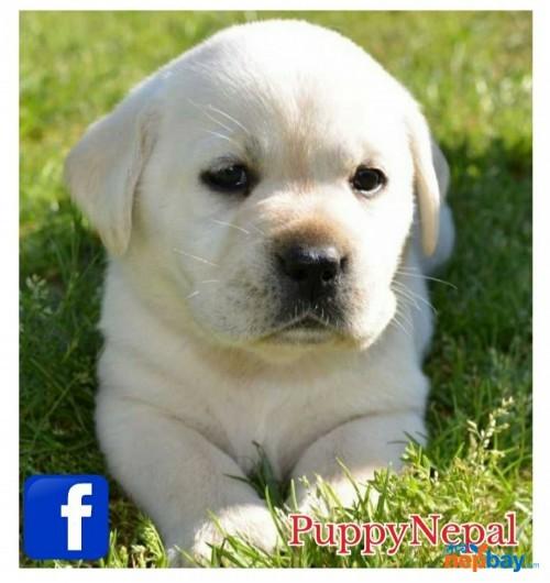 Labrador Puppies in Nepal